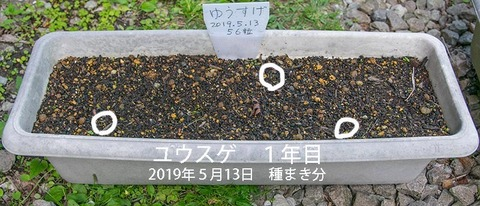 20190606yusuge_planter_1y_2018seed_20190513start_01re.jpg