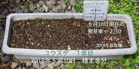 20190616yusuge_planter_1y_2018seed_20190510start_re.jpg