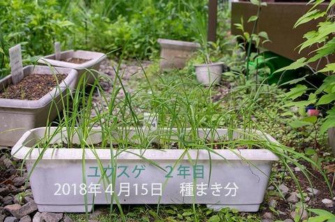 20190616yusuge_planter_2y_2017seed_20180415start.jpg