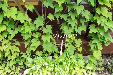 20190621midori06tsurugashiwa.jpg