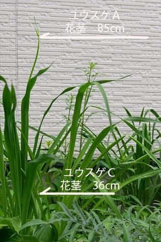 20190628yusuge_kakei_bycA_C01.jpg
