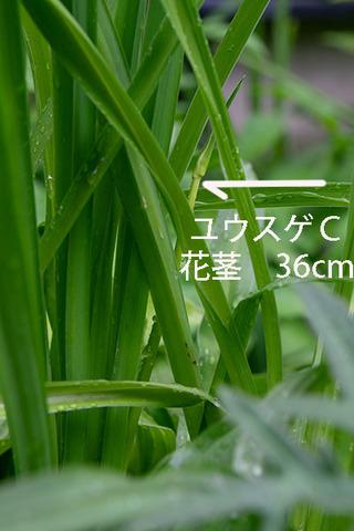 20190628yusuge_kakei_bycC01.jpg