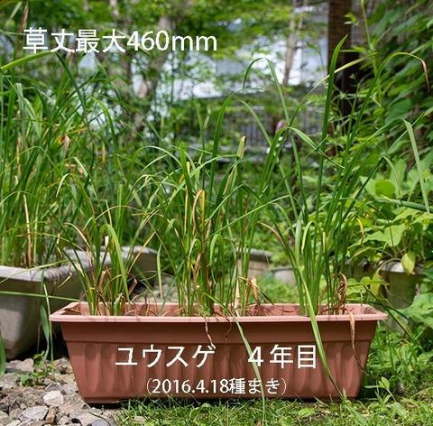 20190719yusuge_planter_4y_2015seed_20160418start.jpg