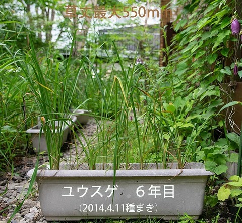 20190719yusuge_planter_6y_2013seed_20140411start.jpg