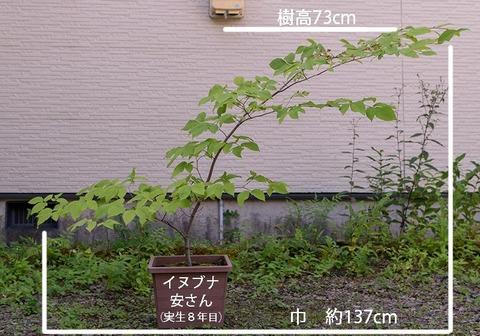 20190825inubuna8y_an_01.jpg