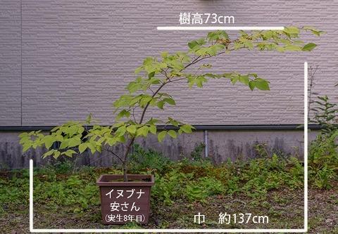 20190907inubuna8y_an_01.jpg