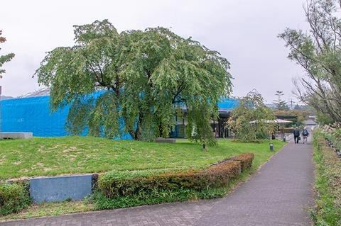 20190928yagasaki-shidare-sakuraB01.jpg
