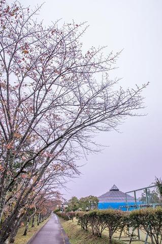 20191011yagasaki-sakura01.jpg