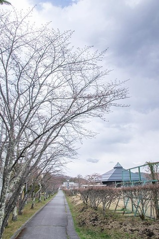 20200424yagasaki-sakura01.jpg