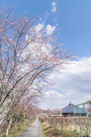 20200427yagasaki-sakura01.jpg