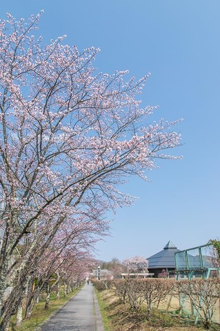 20200429yagasaki-sakura01.jpg