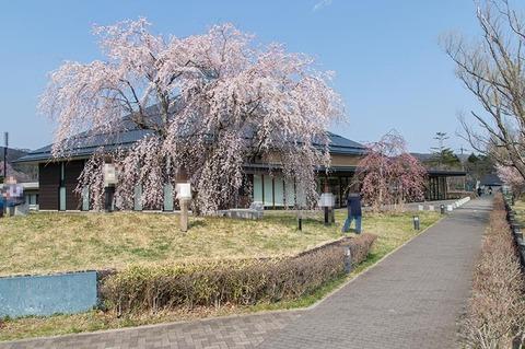 20200429yagasaki-shidare-sakuraB01.jpg