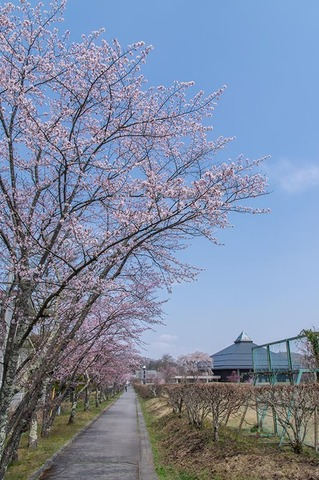 20200430yagasaki-sakura01.jpg