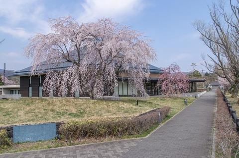 20200430yagasaki-shidare-sakuraB01.jpg