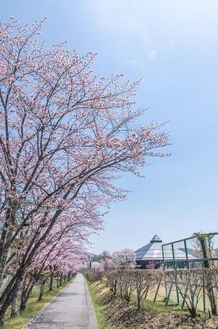 20200502yagasaki-sakura01.jpg