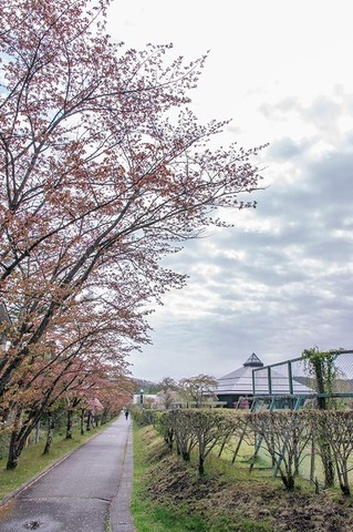 20200506yagasaki-sakura01.jpg