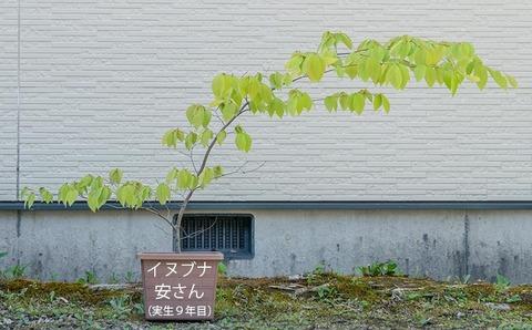20200514inubuna9y_an_00.jpg