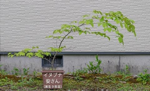 20200524inubuna9y_an_00.jpg