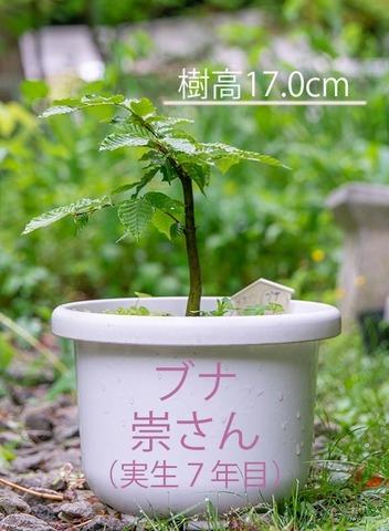 20200601buna_su_7y_01.jpg
