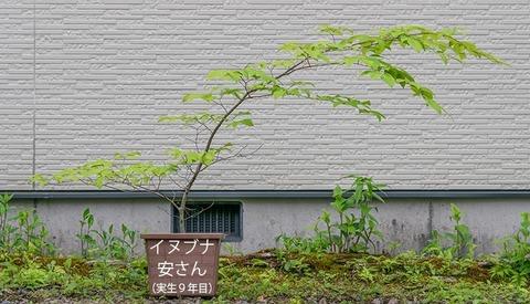 20200601inubuna9y_an_00.jpg