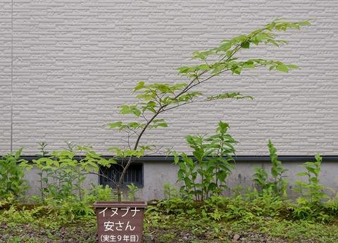 20200703inubuna9y_an_00.jpg