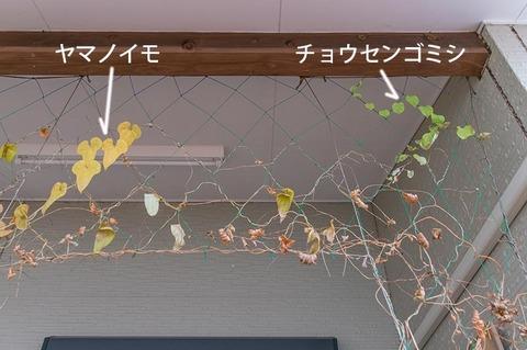 20201107midori03chosengomishi_yamanoimo.jpg