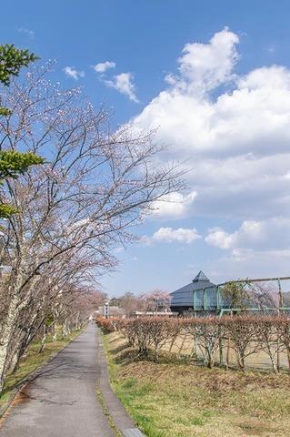 20210420yagasaki-sakura01.jpg