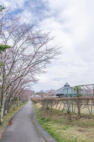 20210422yagasaki-sakura01.jpg