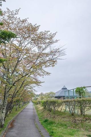 20210507yagasaki-sakura01.jpg