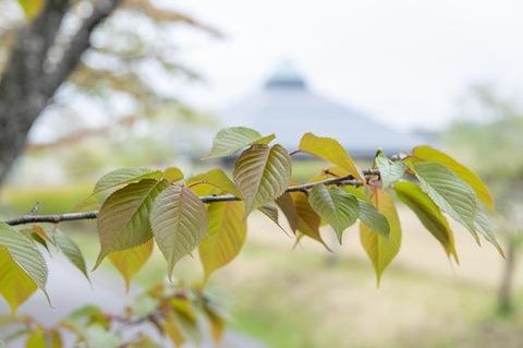 20210507yagasaki-sakura02.jpg