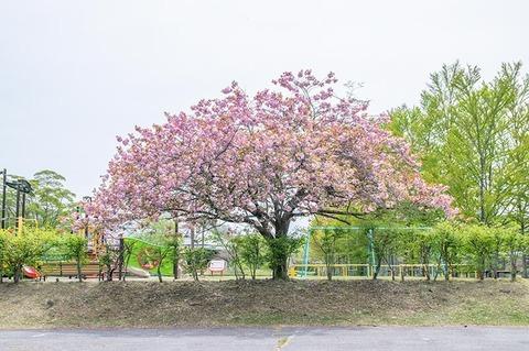 20210514yagasaki-yaezakuraB01.jpg