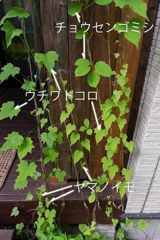 20210609midori_gomishi_uchiwadokoro_yamanoimo01.jpg