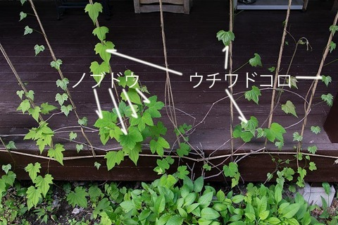 20210609midori_nobudou_uchiwadokoro01.jpg