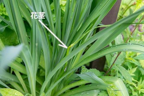 20210614ユウスゲ_地植B03花茎.jpg
