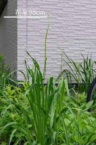 20210624ユウスゲ_地植A01花茎.jpg