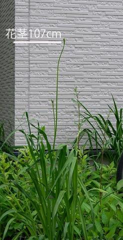 20210626ユウスゲ_地植A01花茎.jpg