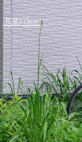 20210628ユウスゲ_地植A01花茎.jpg