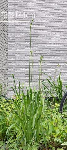 20210703ユウスゲ_地植A01花茎.jpg