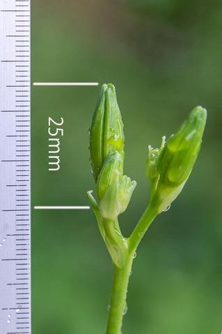20210704ユウスゲ_地植A02花茎.jpg