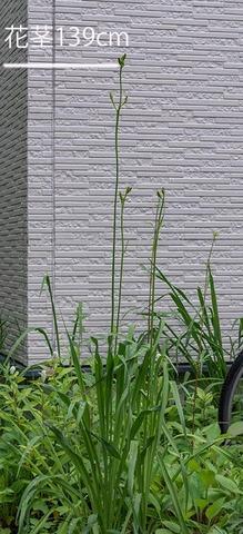 20210705ユウスゲ_地植A01花茎.jpg