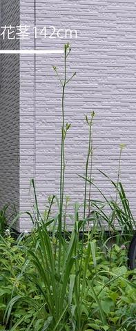 20210708ユウスゲ_地植A01花茎.jpg