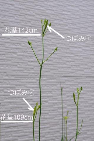 20210709ユウスゲ_地植A02花茎.jpg