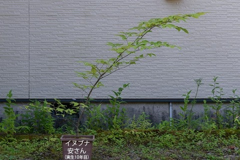 20210722inubuna10y_an_00.jpg