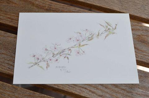 sakura-card.jpg